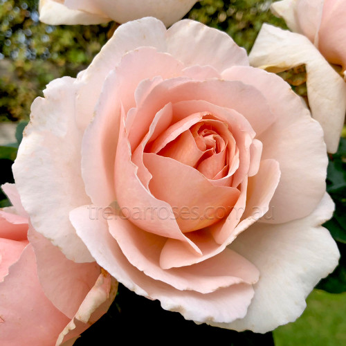 Better Homes and Gardens (Potted Rose)