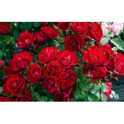 Black Forest Rose - 60cm Patio Standard