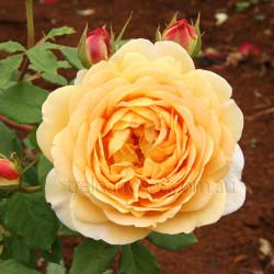 Golden Celebration (Potted Rose)