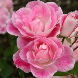 Blushing Pink Iceberg - 60cm Patio Standard