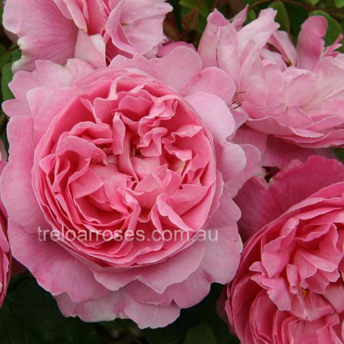 Mary Rose - 90cm Standard