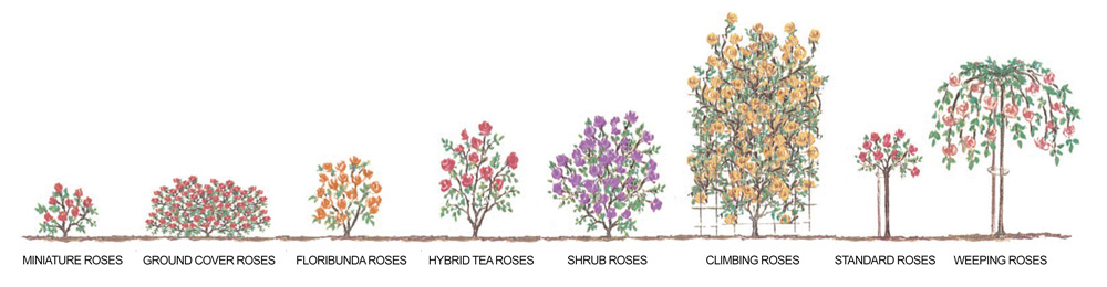 Diagram Rose Growth Habits