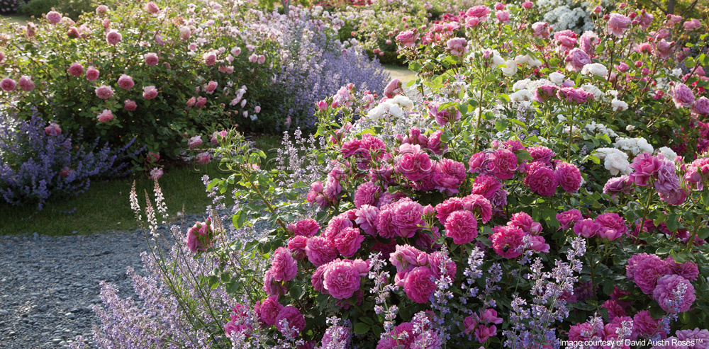 Companion Planting With Roses