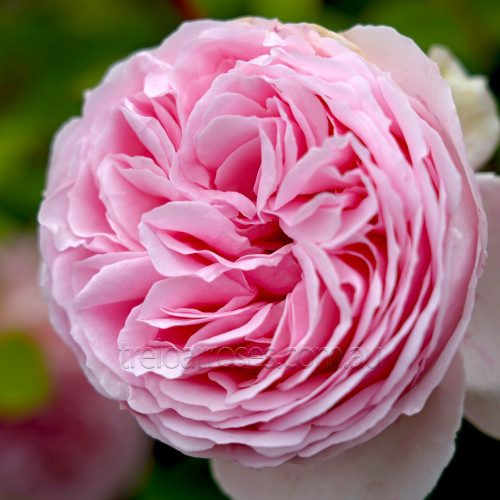 Tallulah (Potted Rose)