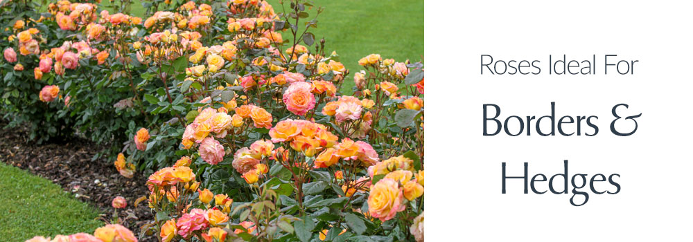 View Roses Ideal For Borders & Hedges