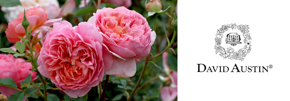 View our David Austin Roses
