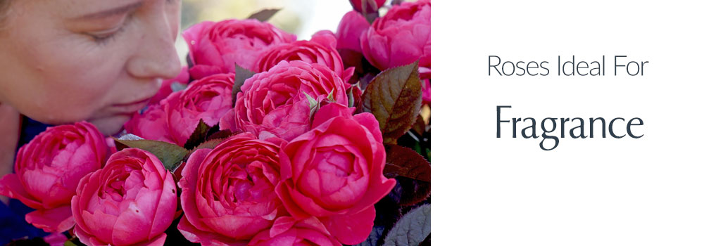 View Roses Ideal For Fragrance
