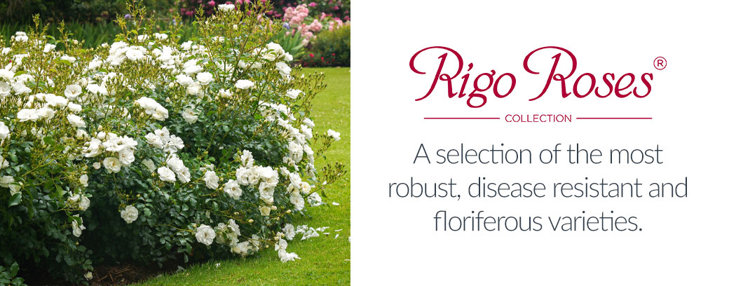 View Rigo Roses Collection