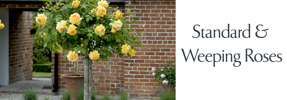 View our Standard Roses