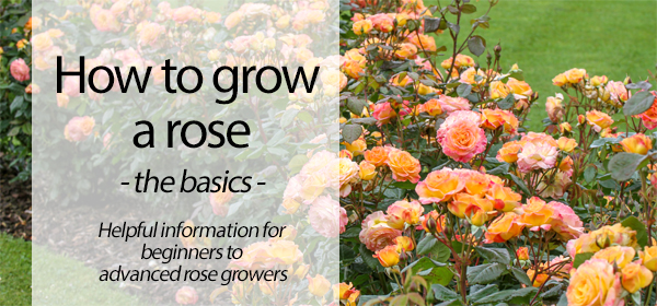 Basic Rose Care Information