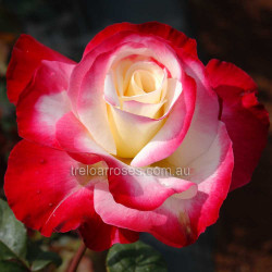 Double Delight (Potted Rose)