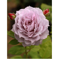 Novalis (Potted Rose)